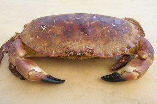 Receta de buey de mar gratinado